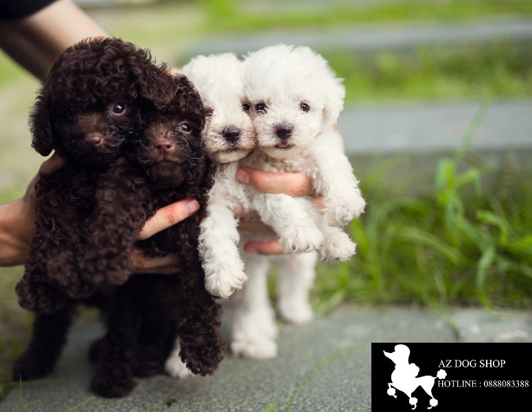 chó Poodle màu đen