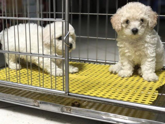 chó toy poodle màu trắng