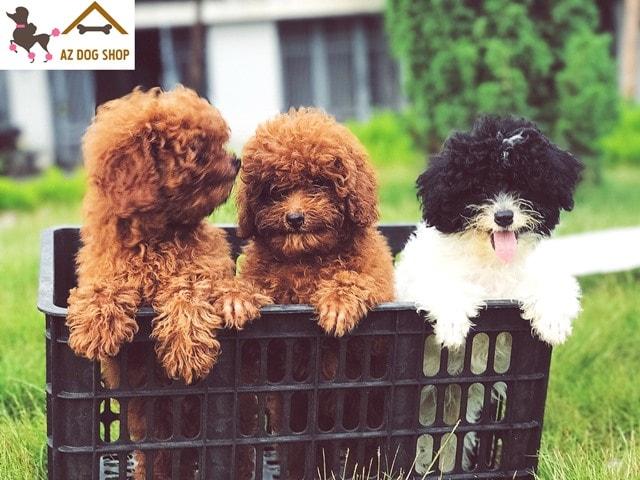 hình ảnh chó poodle màu nâu đỏ