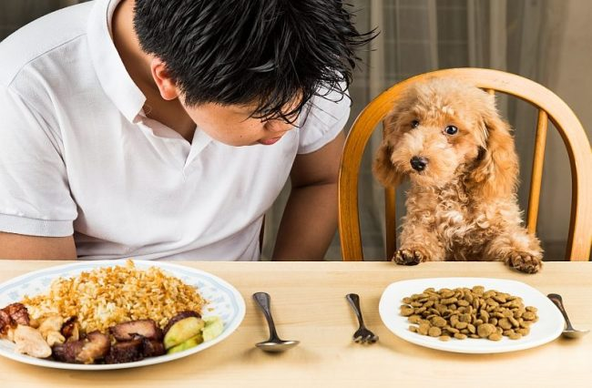 thức ăn cho poodle