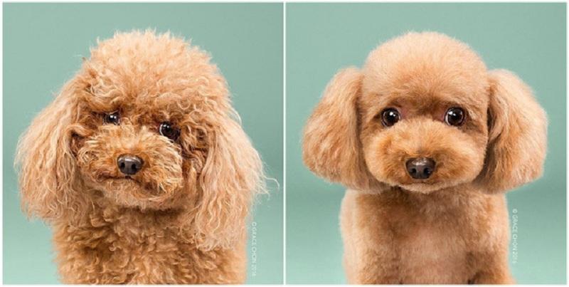 tỉa lông cho chó poodle