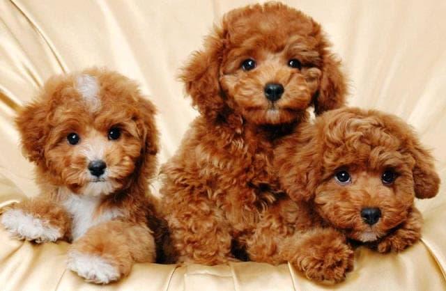 chó poodle nâu đỏ 2 tháng tuổi
