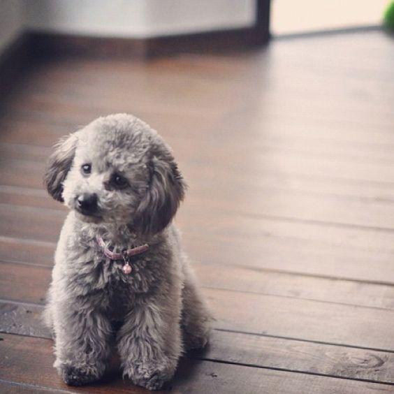 30 Hình ảnh Chó Poodle đen Xám Trắng Nâu đỏ Bò Sữa đẹp Nhất