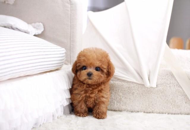 chó teacup poodle nâu đỏ