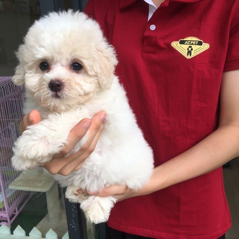 Chó poodle màu trắng