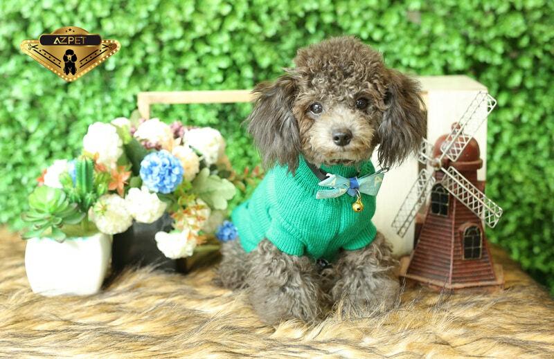 Chó Toy Poodle Màu Xám